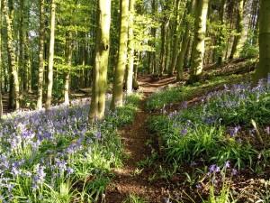 Bluebells in woods at Thornbridge Outdoors